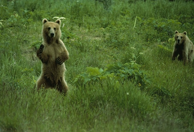 Ursi bruni intr-un luminis