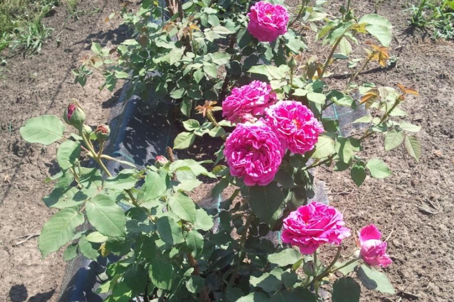 Trandafiri de dulceață