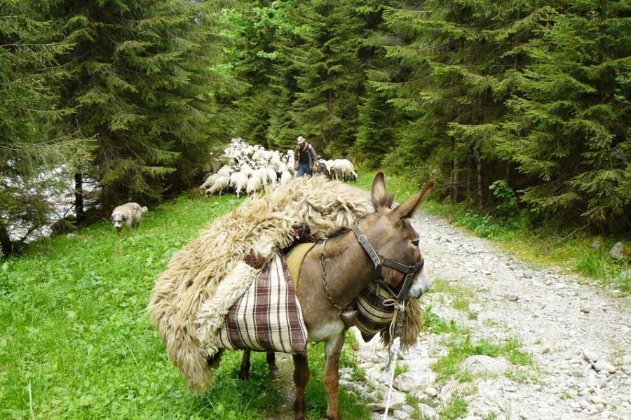 Cu oile pe munte