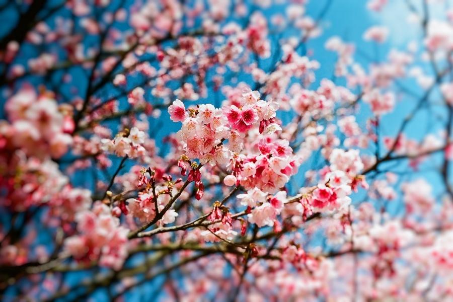 Cireși înfloriți