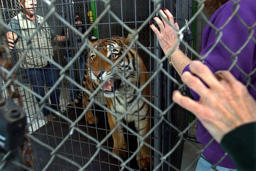 Tigru salvat