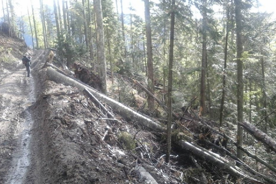 Pădure defrișări