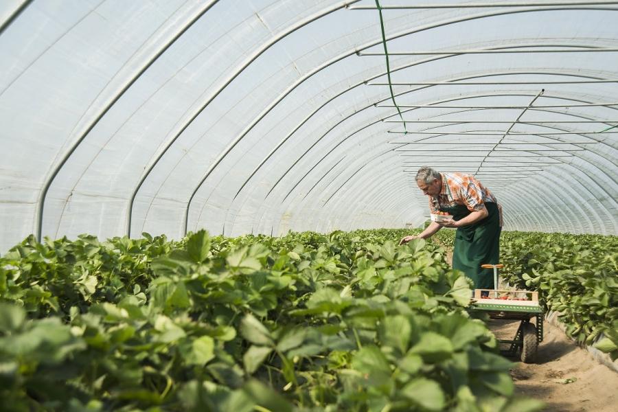 Cultivator de căpșuni