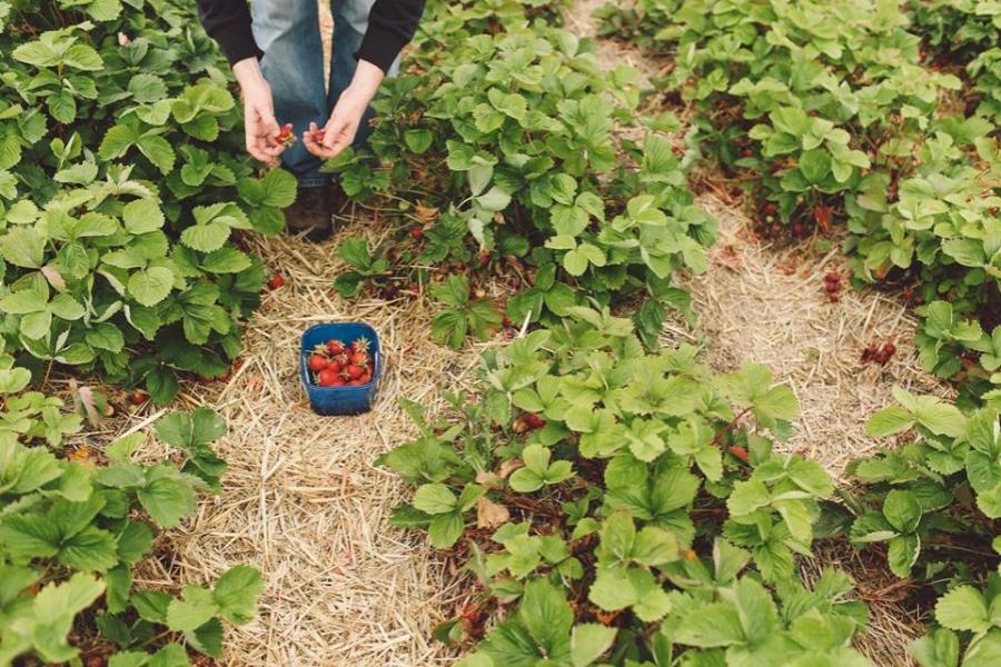 Cules de căpșuni - Getty