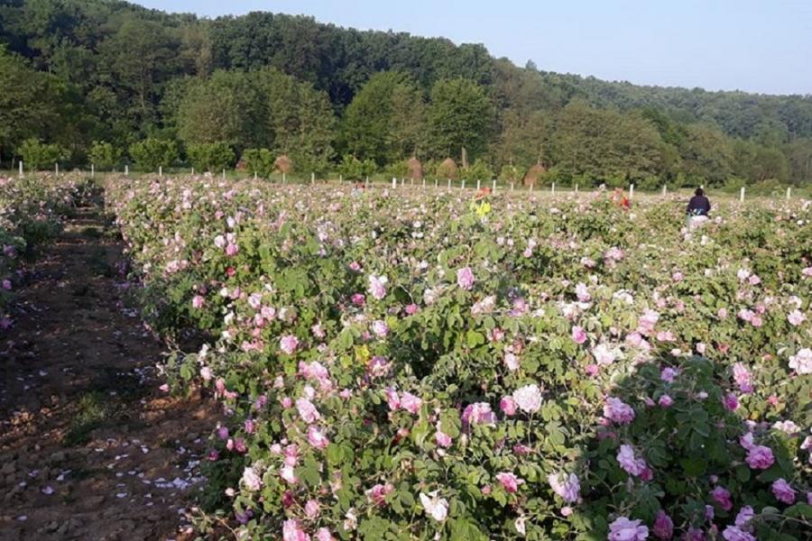 Dolce Idea Romania - trandafiri