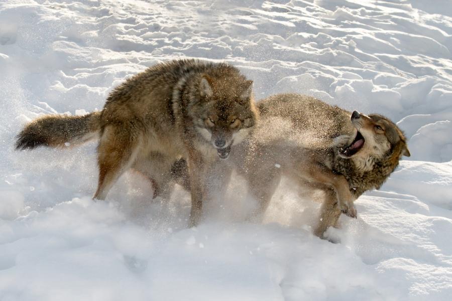 Doi lupi