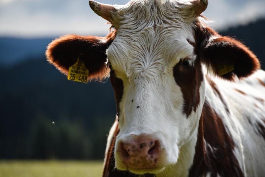 vaca - Getty