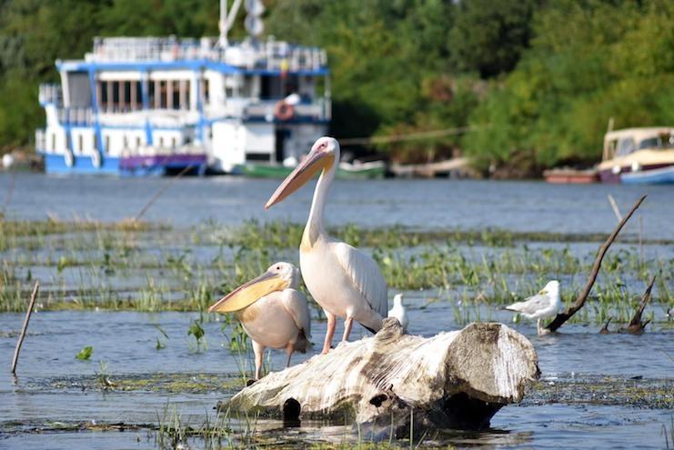 Pelicani Deltă