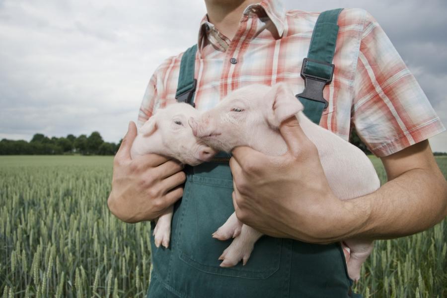 fermier cu purcei - Getty
