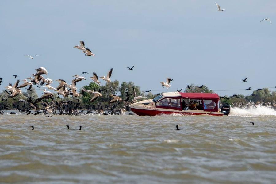 Barcă intrând cu viteză într-un stol de pelicani