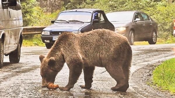 Urși în zona Răcădău